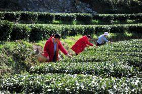 三峡库区:早茶开园
