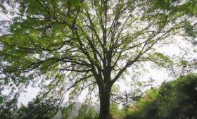 雾河村的古樟树,英姿勃勃,大气非凡!
