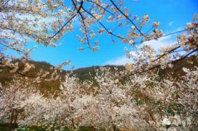 夷陵樱花已盛开,欣荣乡村公园赏樱胜地美爆了!
