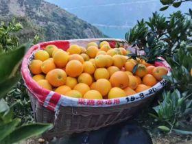 柑橘、茶叶销售