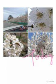 山深未必的春迟,处处山樱花压枝