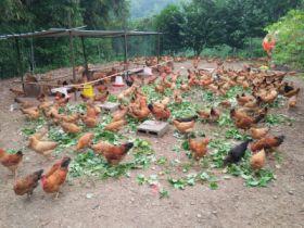 高品质散养土鸡