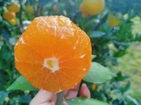秭归脐橙、九月红、长虹、纽荷尔