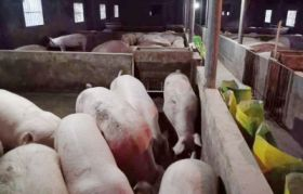 生猪,腊肉