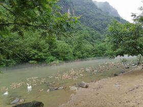 夷陵农家清水散养鸭