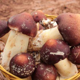 桑枝食用菌 大球盖菇