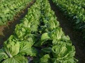 2021年秋冬季大白菜科学施肥技术意见