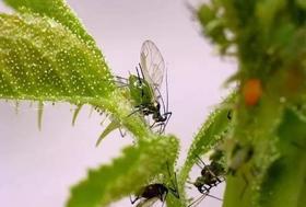 这个药正打反死,专杀蚜虫、蓟马、飞虱、粉虱等害虫,几分钟见效