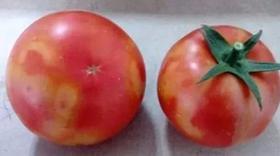 番茄着色不良的解决办法!提高种植经济效益