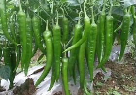 辣椒中后期水肥管理!提高后期生产产量