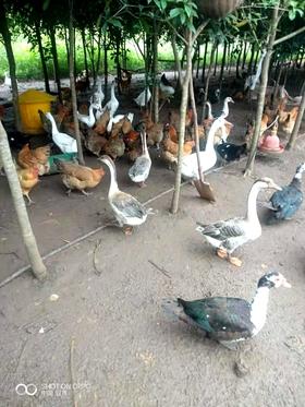 土鸭子、土鹅、土鸽子常年有售