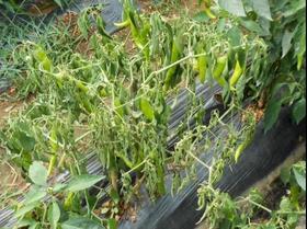 种植瓜果蔬菜出现茎叶萎枯后,怎么判断是青枯病还是枯萎病