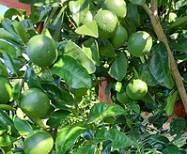 当阳市柑桔品种改良探讨